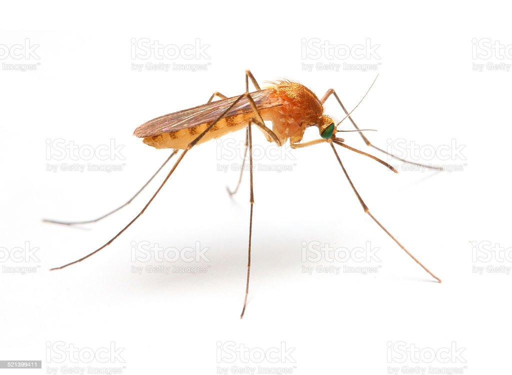 Anopheles mosquito. stock photo