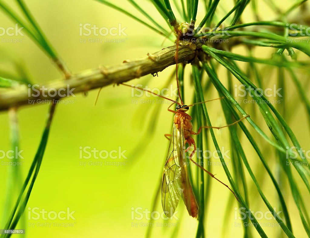 Anopheles mosquito resting on green leaf stock photo