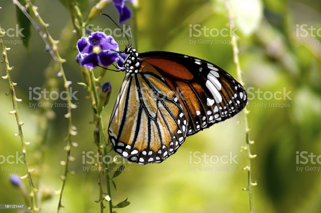 Another Butterfly royalty-free stock photo