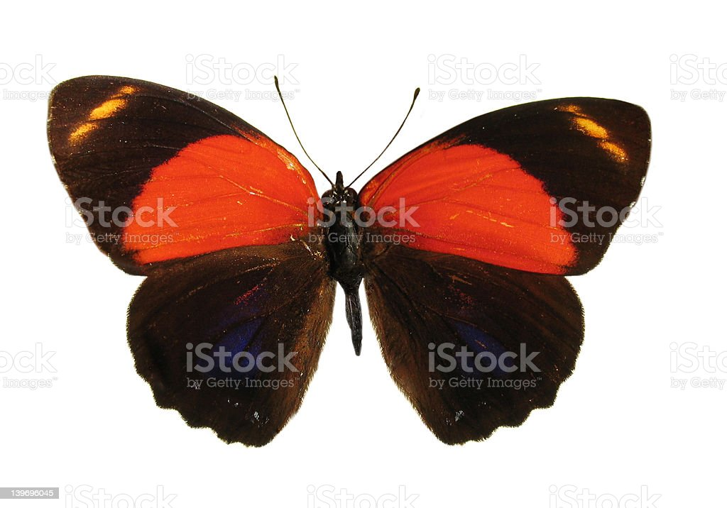 Another Colorful Peruvian Butterfly, Isolated Against White Back royalty-free stock photo