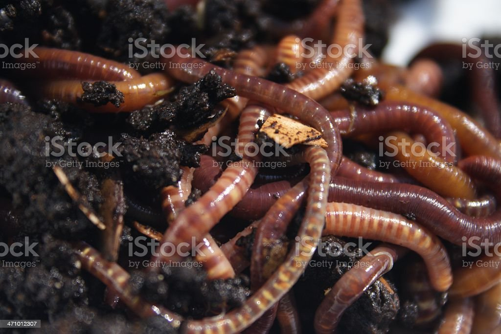 Another Mess of Worms stock photo