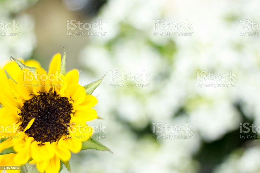 Another sunflower stock photo