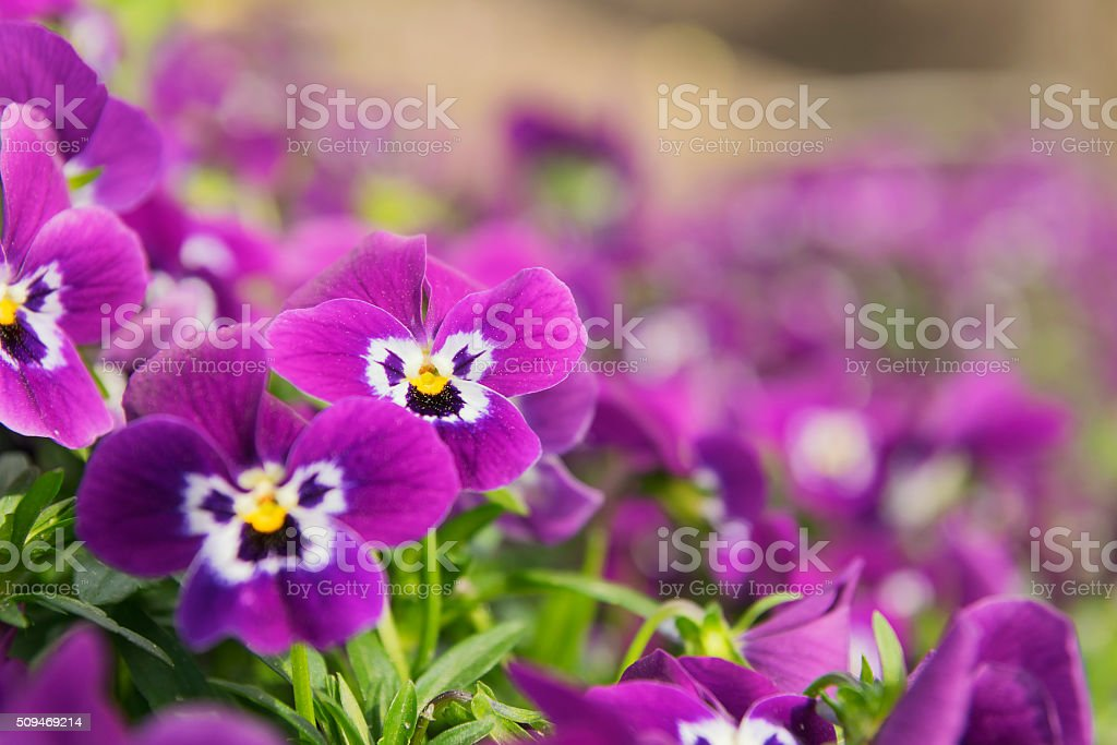 ansies in flower bed stock photo