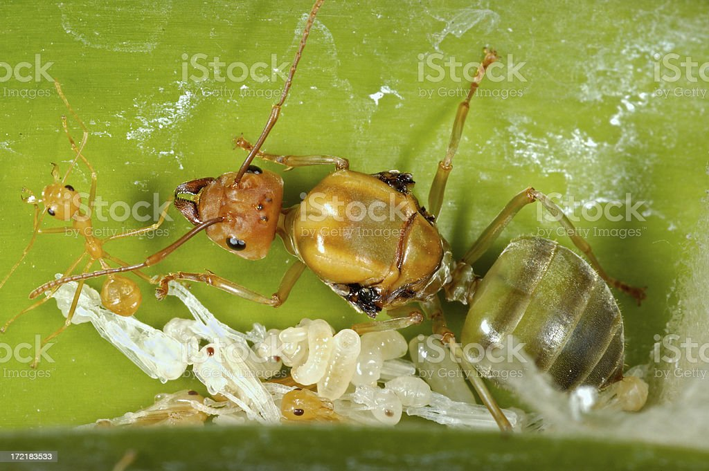 Ant and Ant-To-Be royalty-free stock photo