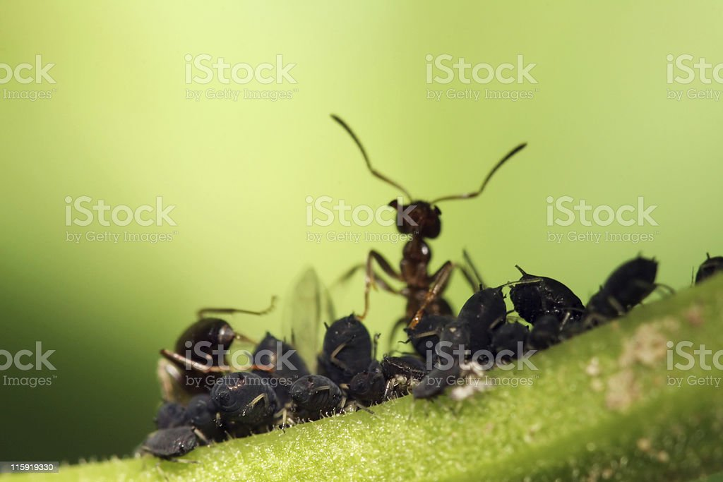 Ant and  aphid farm 01 royalty-free stock photo