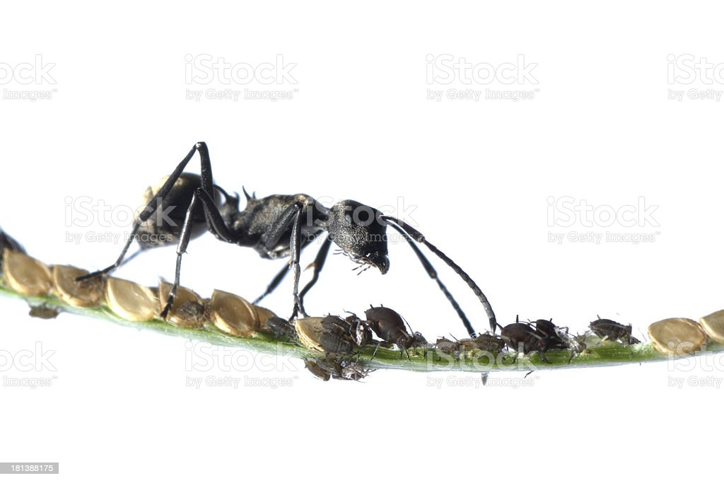 ant and aphid symbiosis royalty-free stock photo
