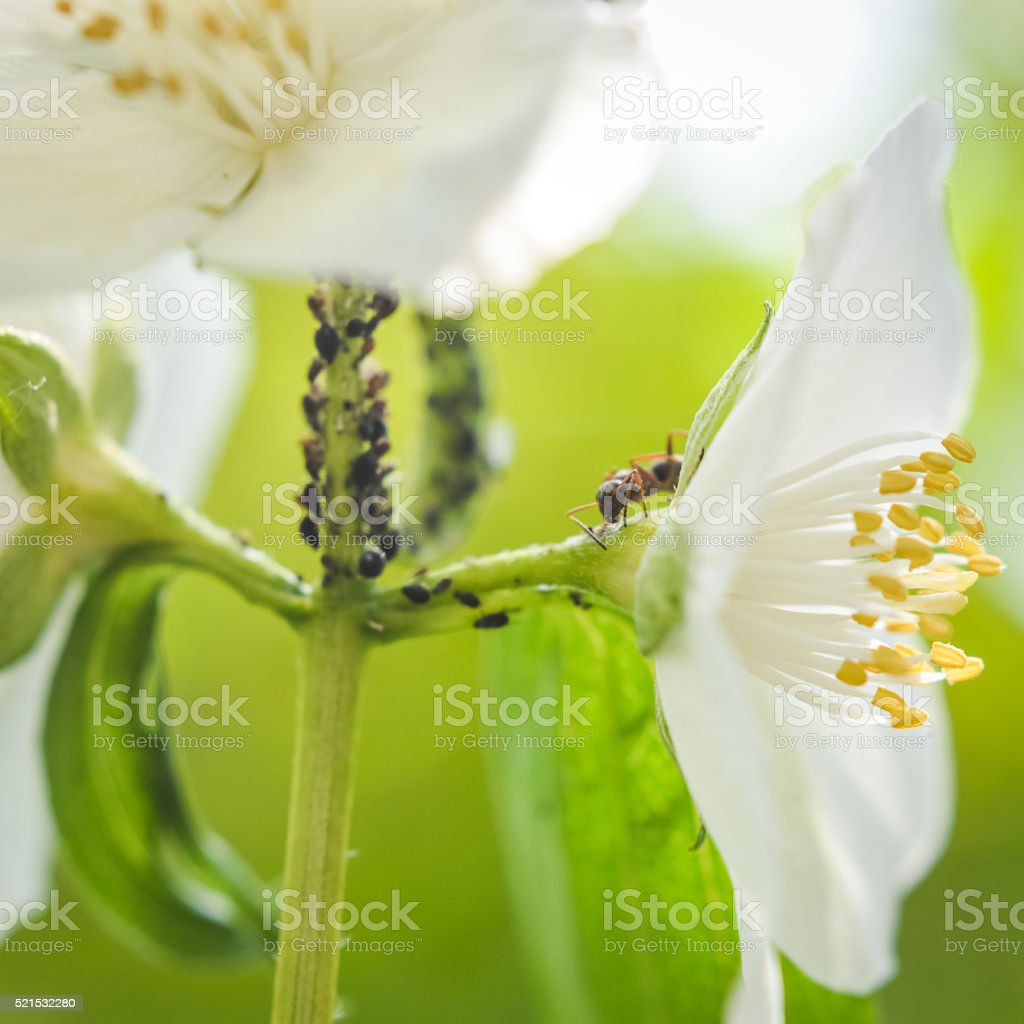 ant and aphids on a white flower stock photo