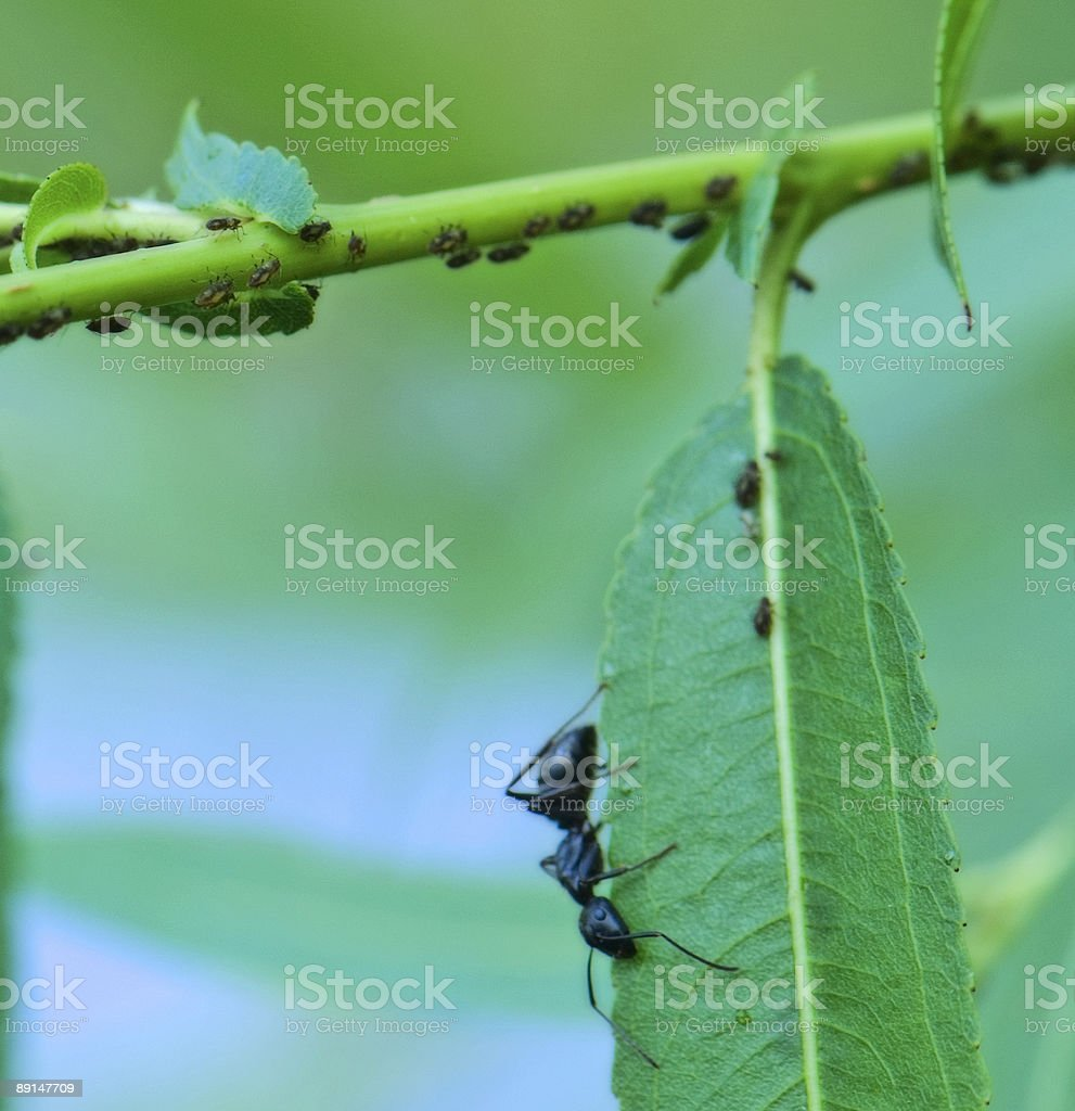 Ant and Aphids on WIllow Tree stock photo