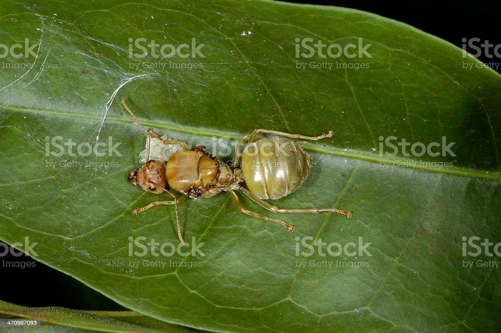 Ant and Eggs royalty-free stock photo