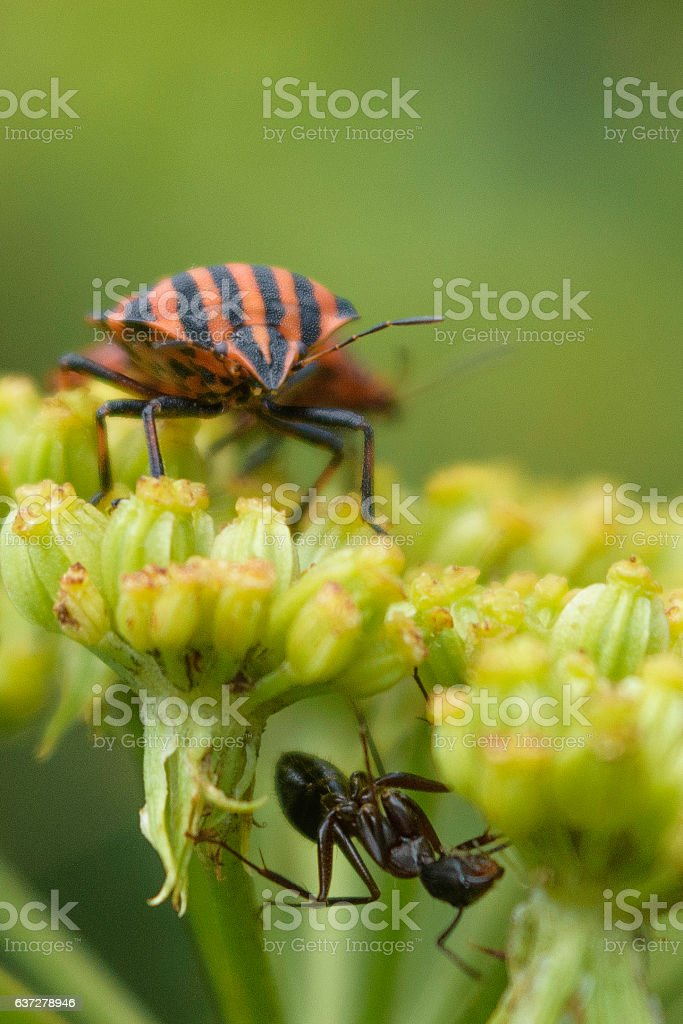Ant and Graphosoma stock photo
