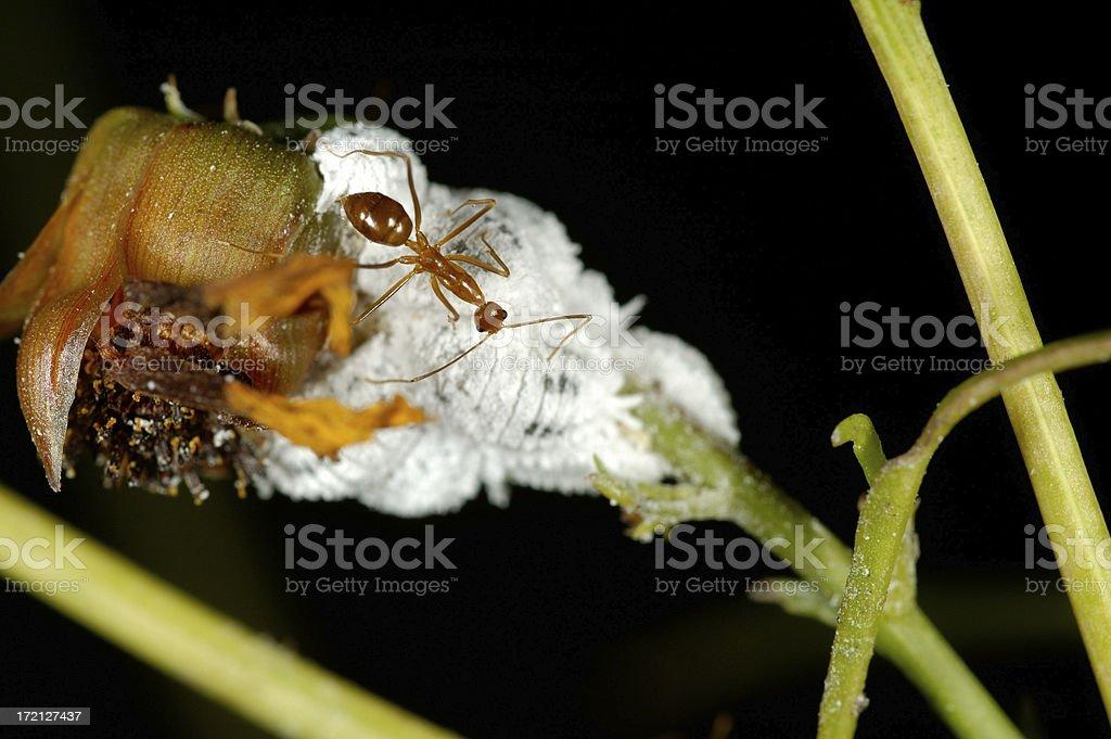 Ant and Mealybugs stock photo