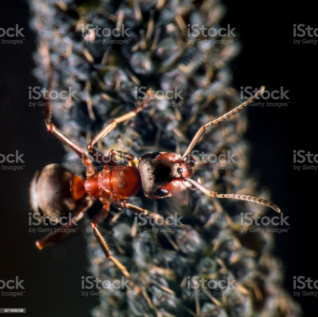 Ant and plant lice stock photo