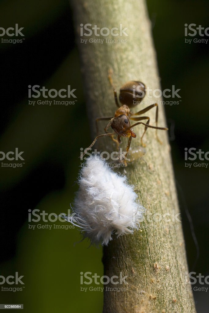 Ant attacking a mealy bug stock photo