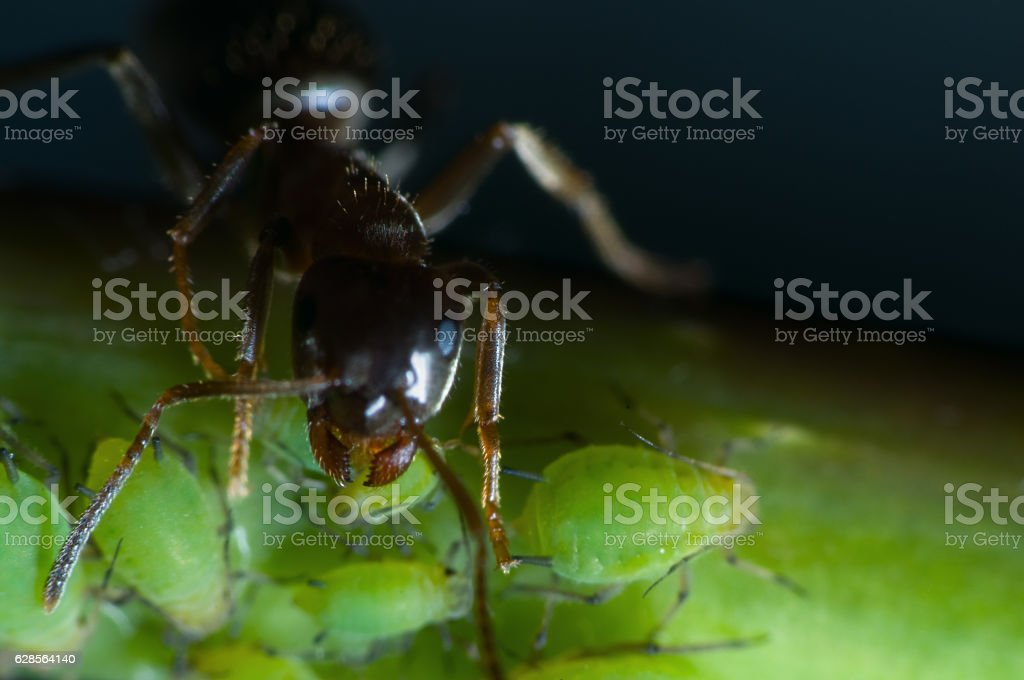 ant bite a greenfly stock photo
