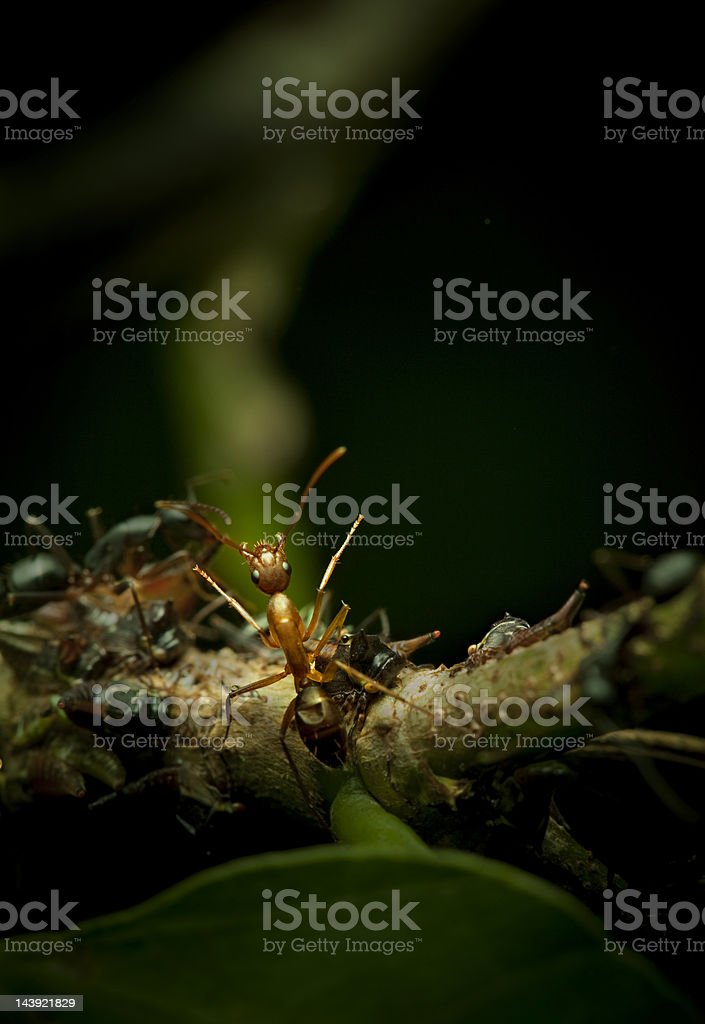 Ant communicating with raised legs and antennas stock photo