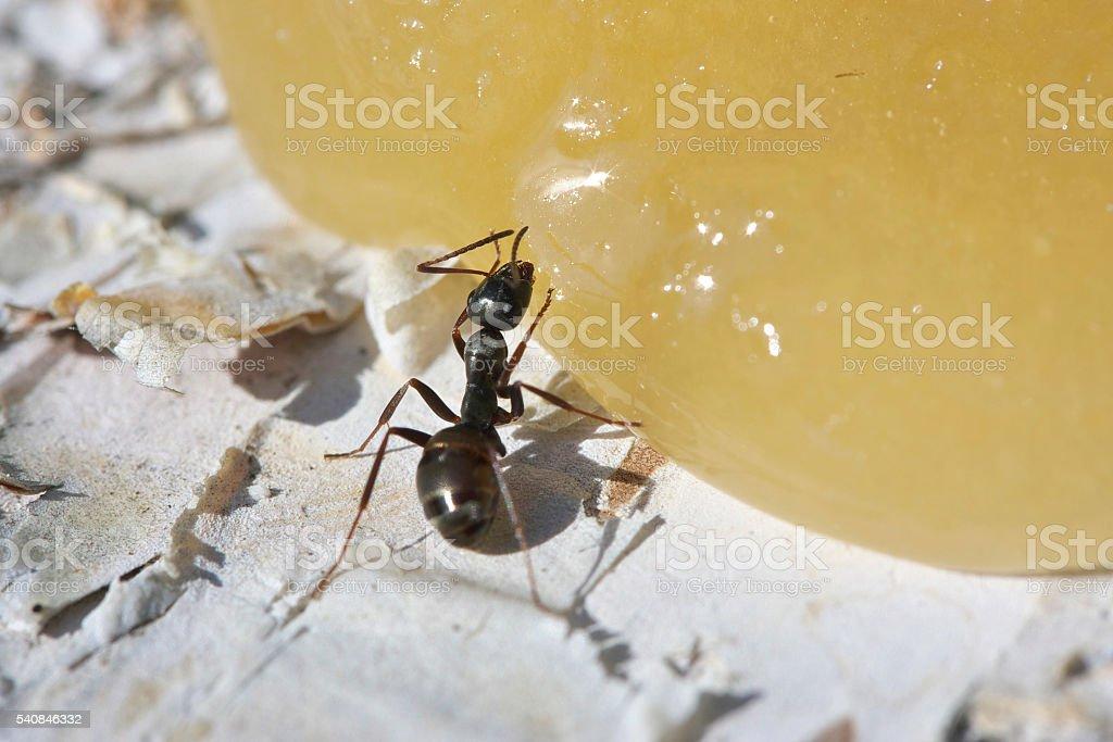 Ant eating honey. stock photo