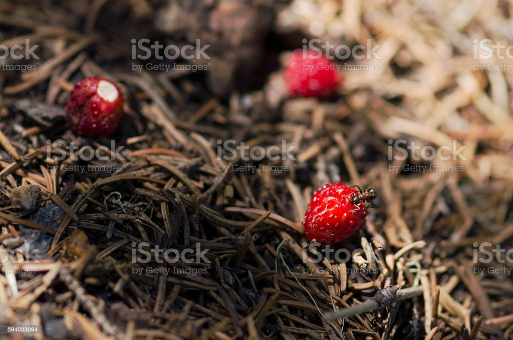 Ant eating over wild strawberry in an anthill stock photo