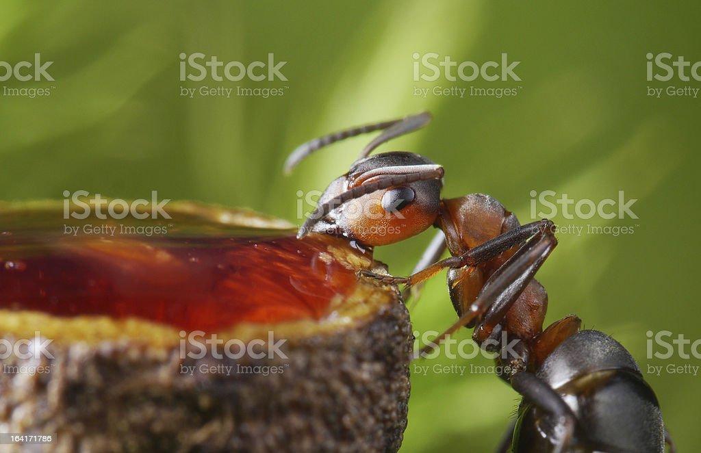 ant eating sweet honey stock photo
