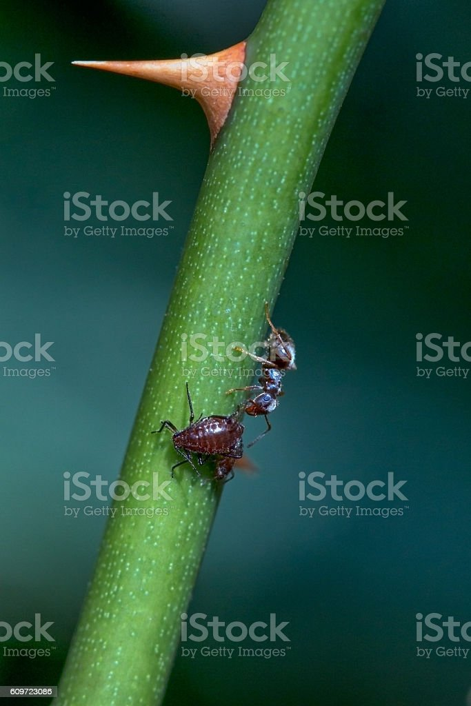 Ant feeding from an aphid on a plant stem stock photo