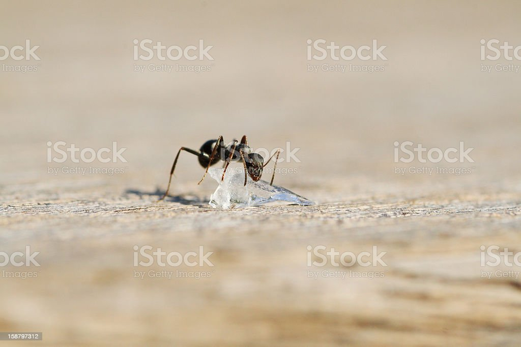 Ant found peace of Candy royalty-free stock photo