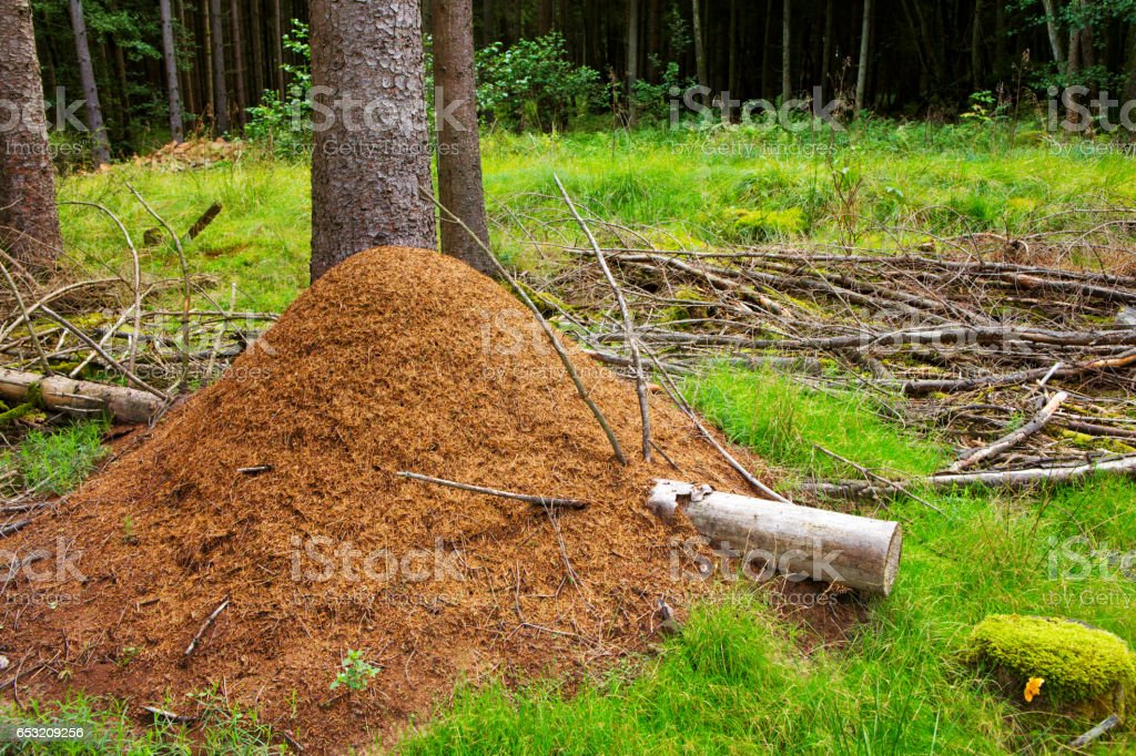 Ant hill in european forest stock photo
