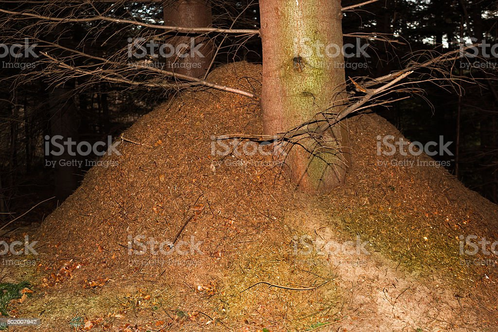 Ant hill in forest stock photo