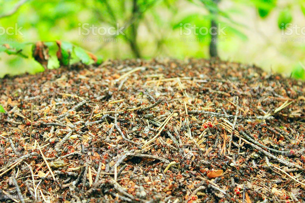 ant hill in the forest stock photo