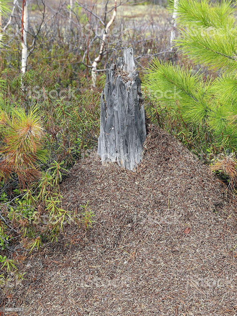Ant hill in the wood among pines stock photo