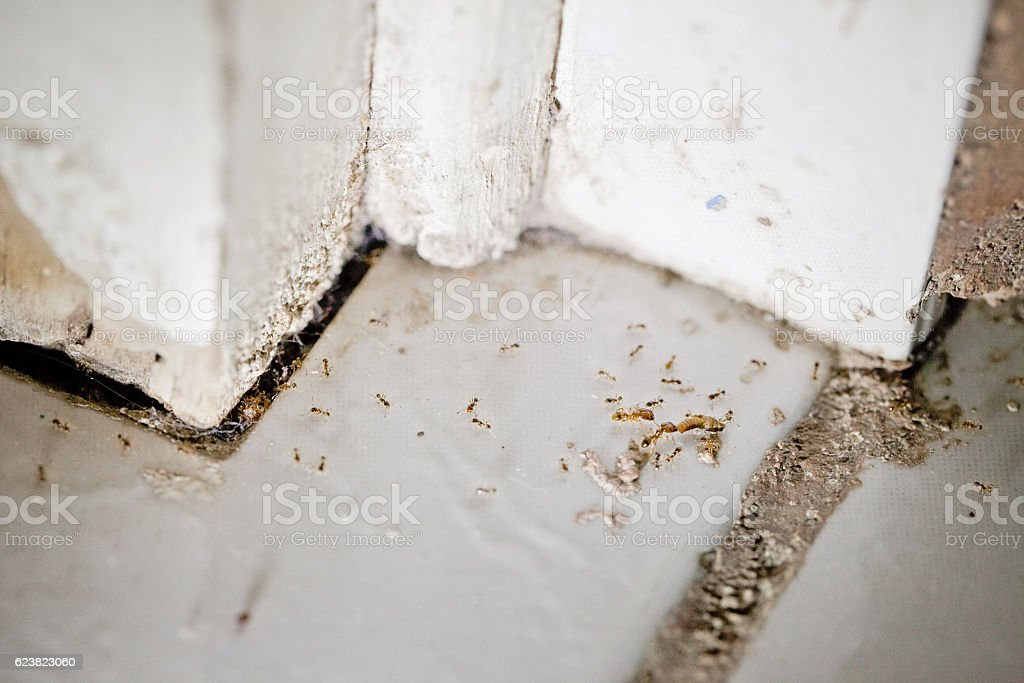 Ant Infestation stock photo