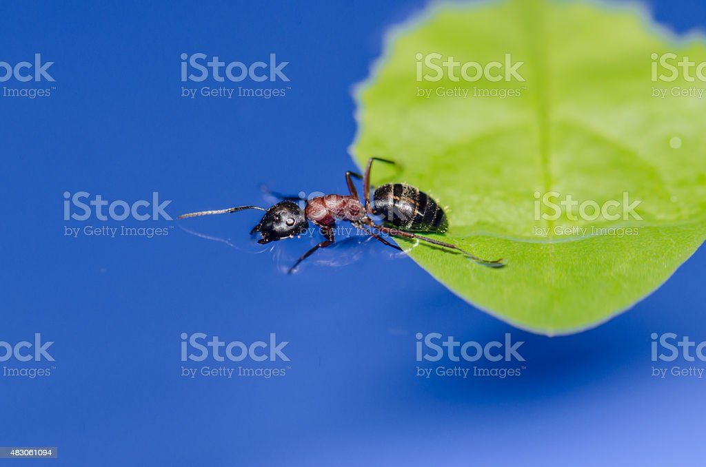 Ant leaving a leaf to go in water stock photo