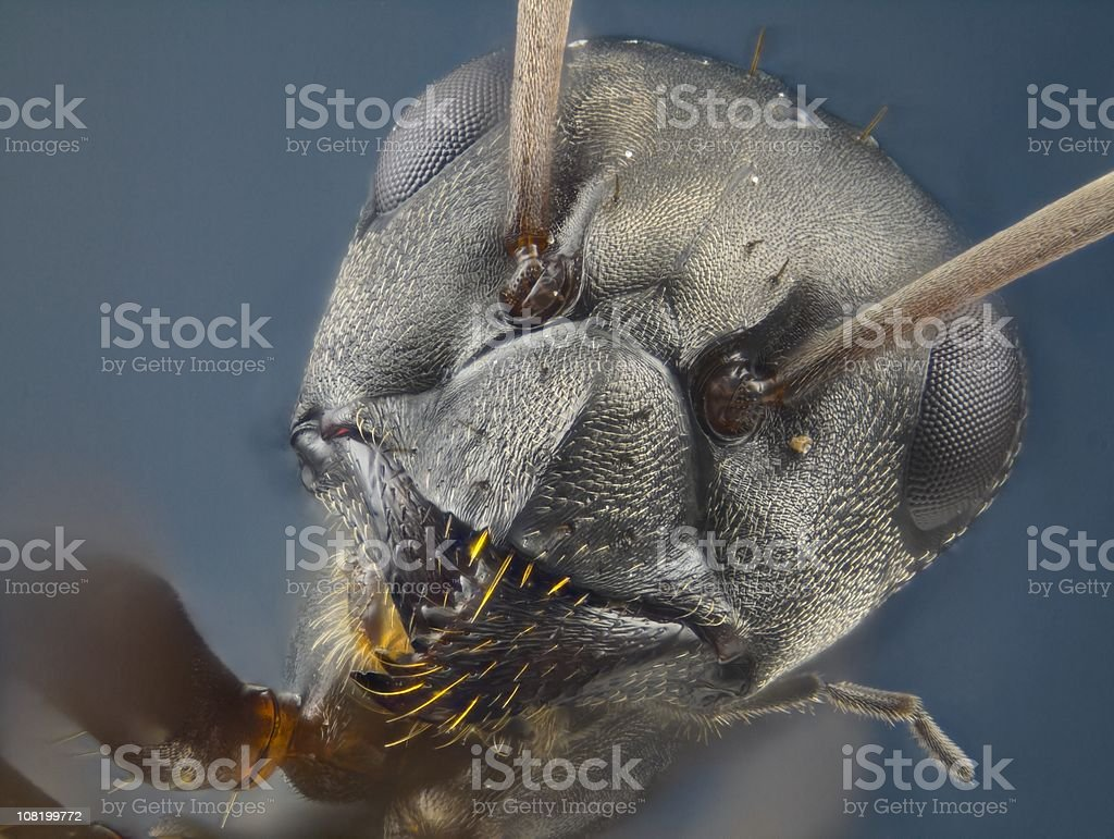 Ant - likely Formica (Serviformica) sp. royalty-free stock photo