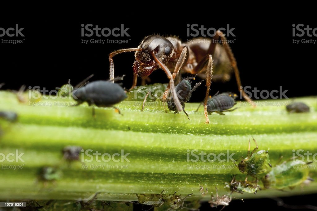 Ant milking lice royalty-free stock photo