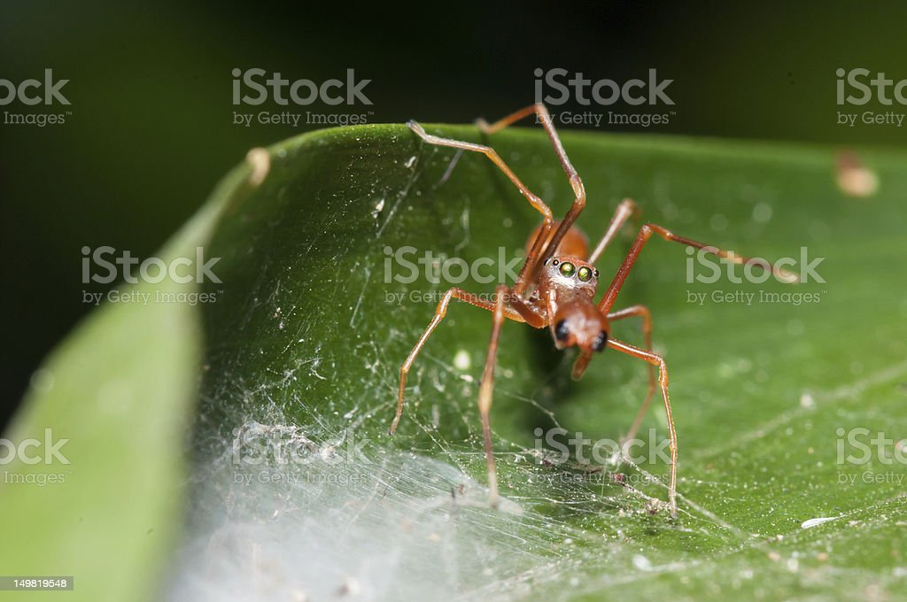 Ant Mimic Spider guarding it's nest. stock photo