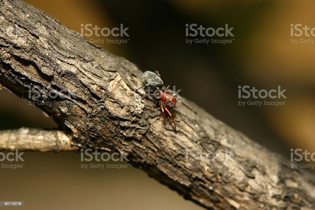 Ant Mimic Spider royalty-free stock photo