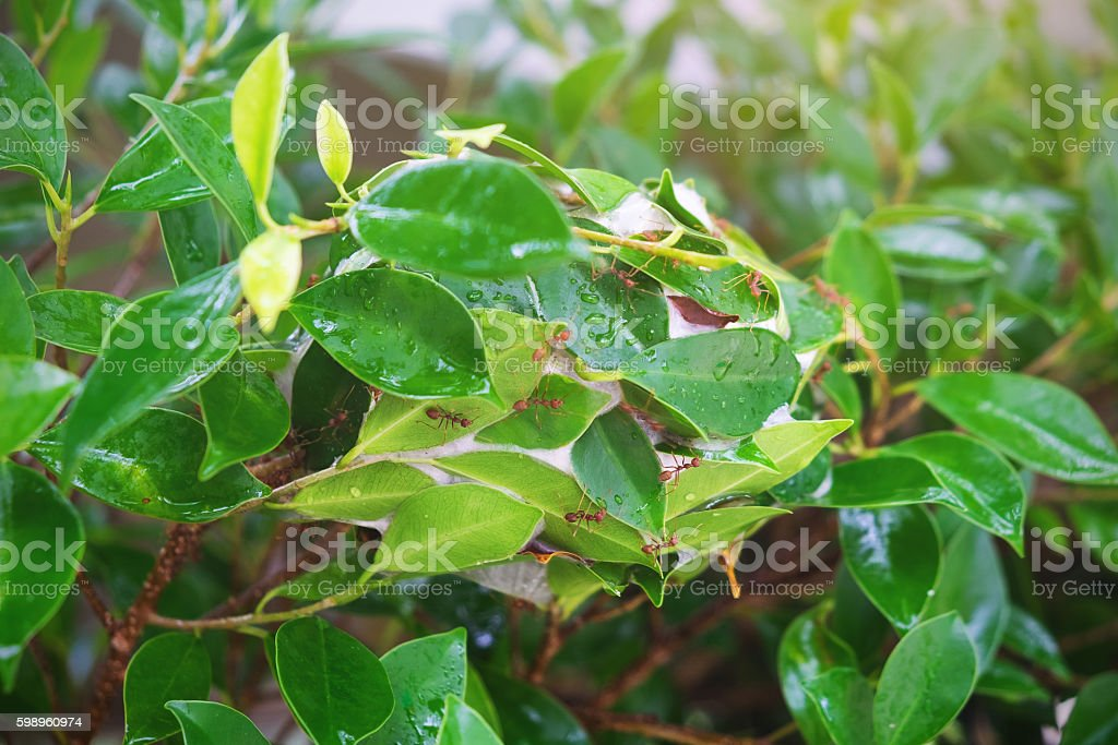 Ant nests on tree , Red Ants nesting stock photo