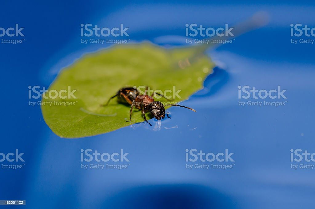 Ant on a floating leaf drinking water stock photo