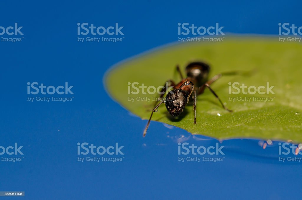 Ant on a floating leaf  preparing to drink water stock photo