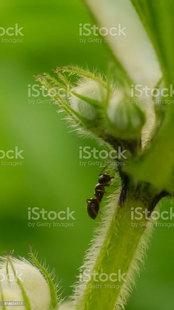 ant on a nettle royalty-free stock photo