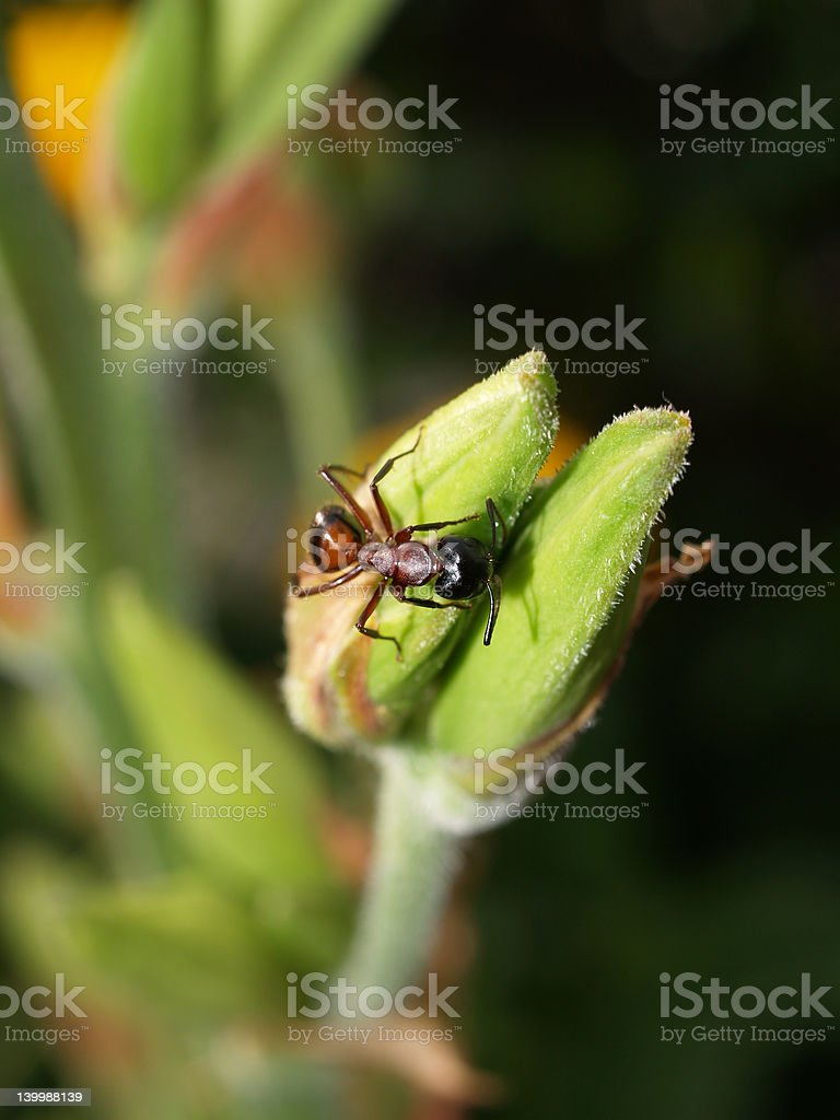 Ant on Flower royalty-free stock photo