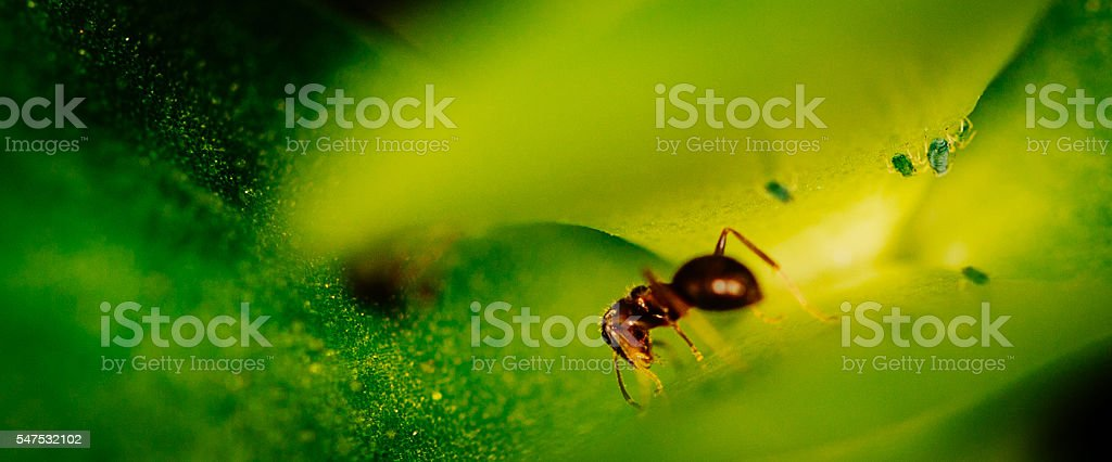 Ant on green leaf close up stock photo
