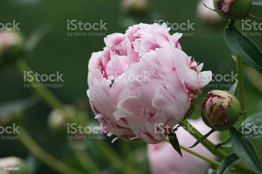 Ant on Pink Peony stock photo