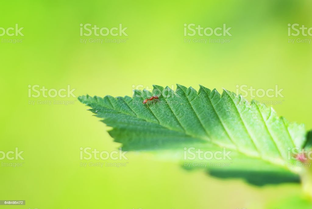 Ant on the green leaf stock photo
