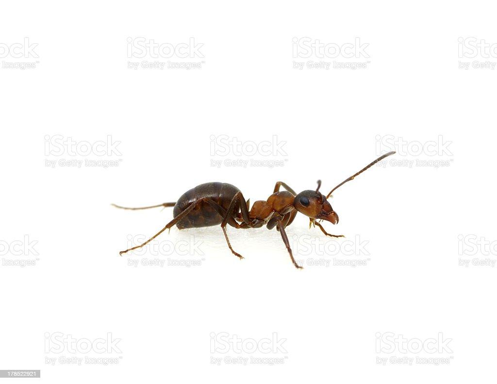 Ant on white royalty-free stock photo