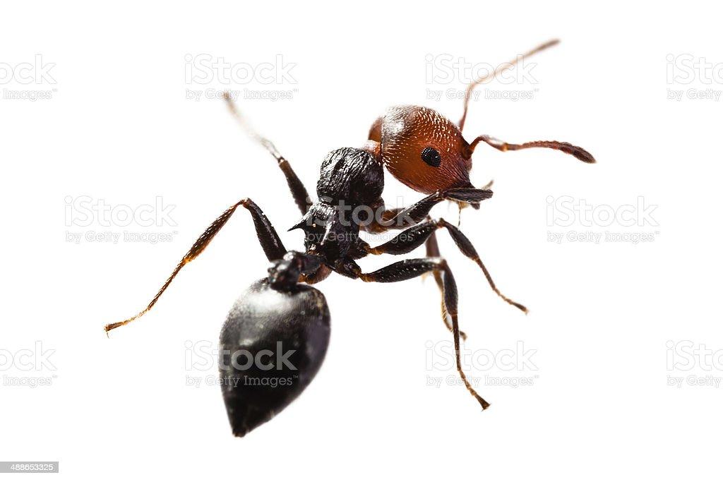 Ant on white stock photo