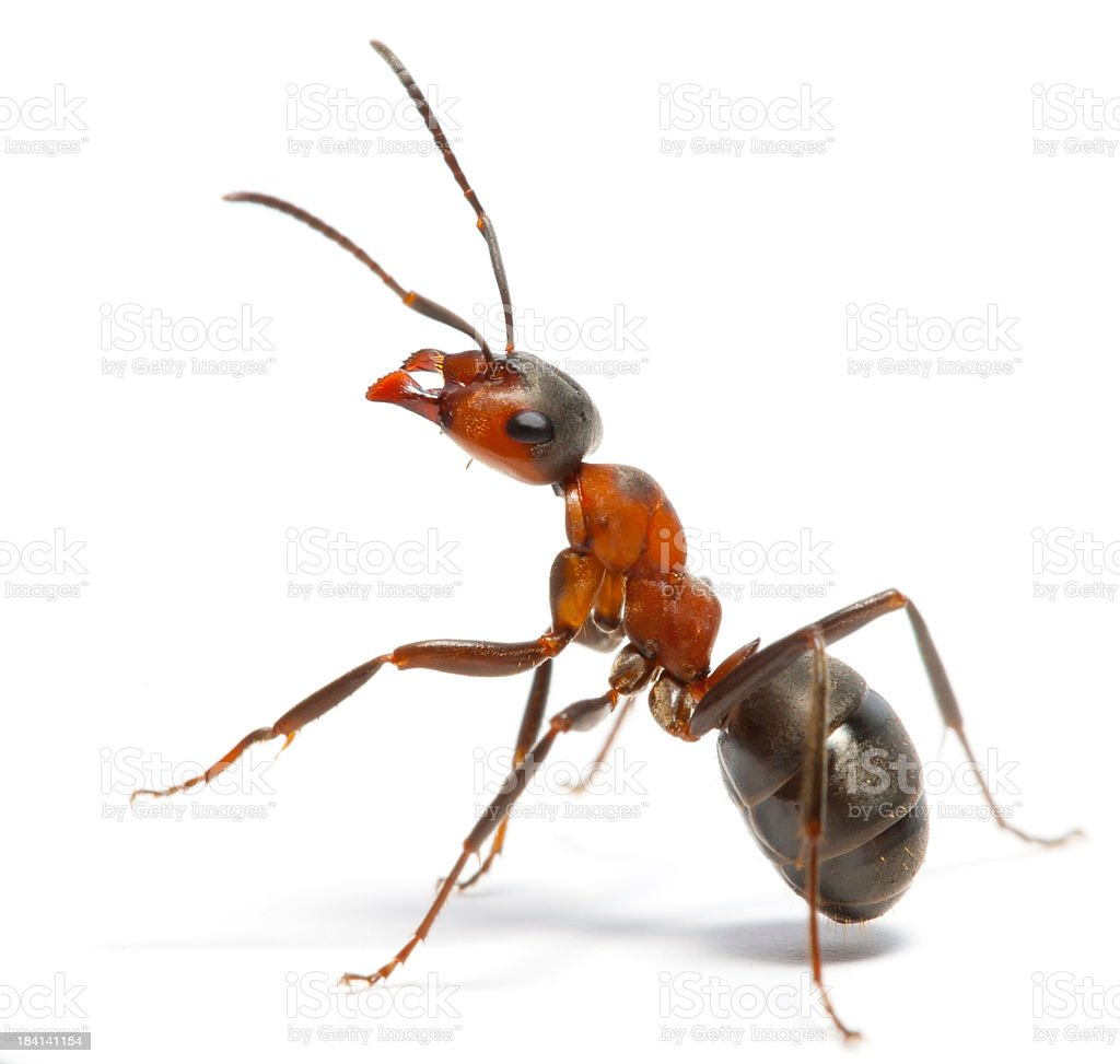 ant royalty-free stock photo