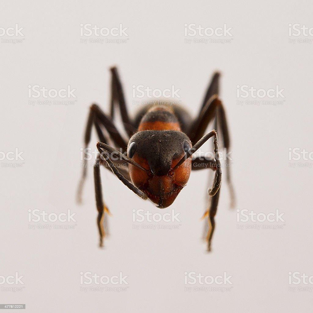 Ant royalty-free stock photo