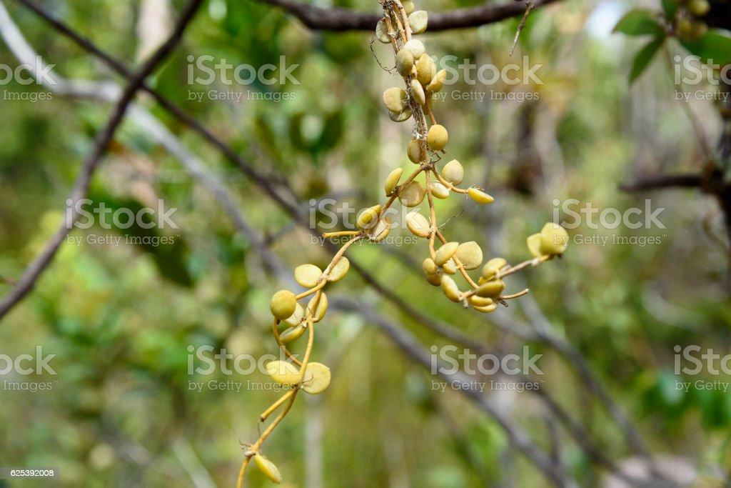 Ant Plant Myrmecodia tuberosa stock photo