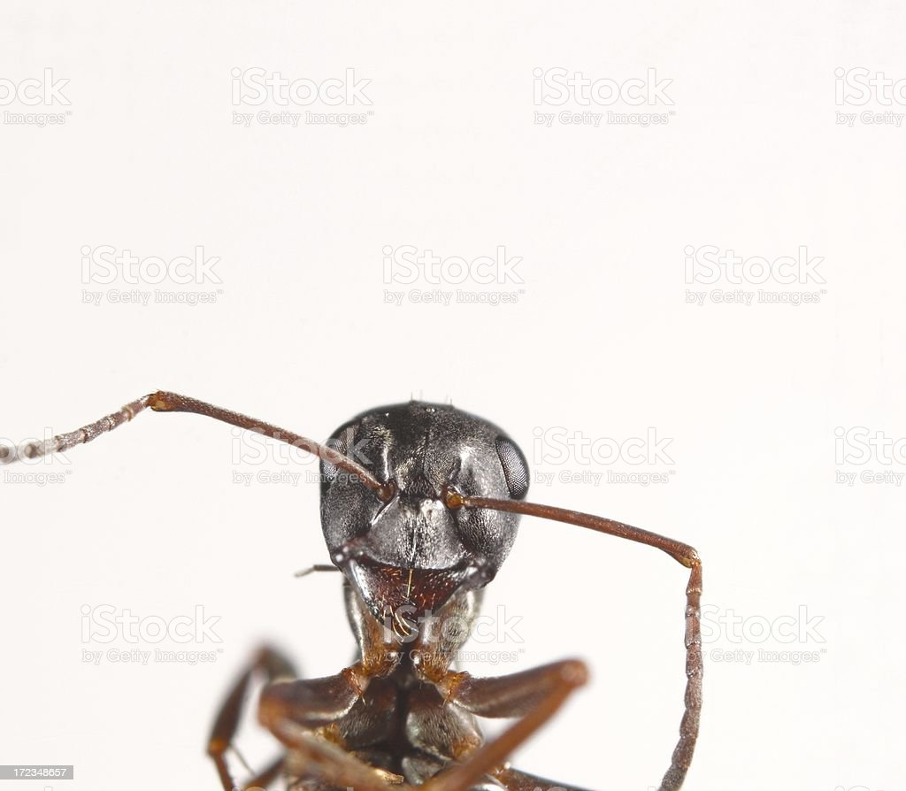 Ant portrait royalty-free stock photo