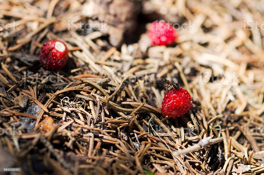 Ant standing over wild strawberry in an anthill stock photo