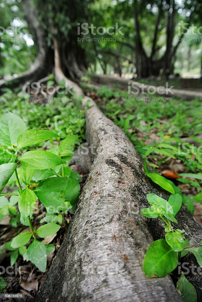 Ant walking on the banyan tree root stock photo